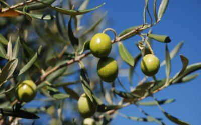 Corso di potatura dell'olivo a Montepulciano. Ancora aperte le iscrizioni