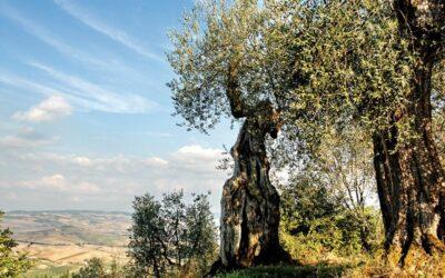 Olivo, corsi di potatura per agricoltori ed hobbisti in provincia di Siena. Aperte le iscrizioni